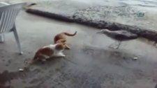 Martı ile kedinin ekmek kapma savaşı