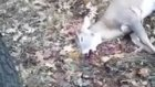 Ölü taklidi yapan geyik