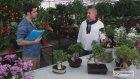 ÇiçekSepeti - Bonsai Bakımı Nasıl Yapılır?