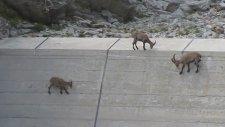 Baraj Duvarına Çıkan Keçiler