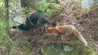 Köpek İle Tilkinin Dostluğu