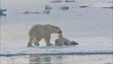 Kutup Ayısı Yavrusunu Öldürüp Yedi