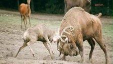 Bizona Kafa Tutan Geyik Öldü
