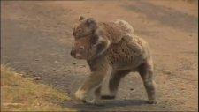 Yavrusunu Yangından Kurtaran Koala