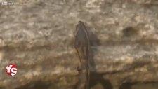 Karıncalar Piton Yılanını Yok Ediyor!
