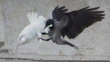 Papa'nın Barış Güvercinlerine Karga ve Martı Saldırdı