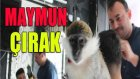 Berber Dükkanındaki Maymun Çırak Şaşırttı
