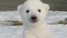 İlk Defa Kar Gören Yavru Kutup Ayısı