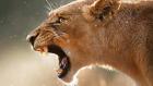 Aç Kalan Puma Ayıyı Karşısında Görünce