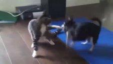 Şivava ile kedinin sevimli kavgası