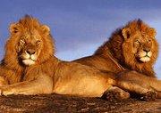 Aslanların Kardeş İntikamı