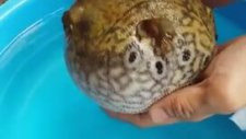 Balon Balığı Tehlike Anında Kendisini Nasıl Korur?