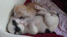 Yavru Kedi ve Köpeğin Sevgisi