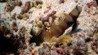 Kaya Balığı ve Karidesin Müthiş Yardımlaşması