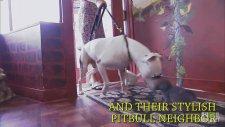Gözlüklü Pittbull'un Kedilerle Oynaması