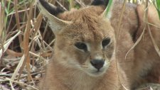 Cougar & Caracal / Serval Hybrid Rescued! - Sanctuary Closes