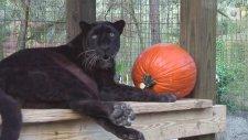 Siyah Leoparın Doğumgünü