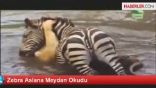 Zebra Aslana Meydan Okudu