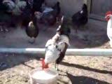 denizli horozlarım ve tavuklarım