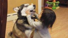Sibirya Kurdu Husky ile Oynayan Bebek