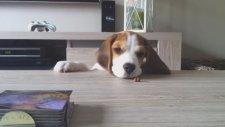 Beagle yavrusu büyüyor