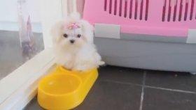 Oyuncak Gibi Tatlı Minik Köpek