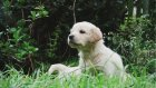 Pofuduk yavru köpekler büyüyor