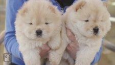 Chow yavruları