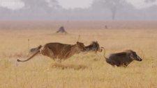 Aslanın Hüsranla Biten Yaban Domuzu Avı