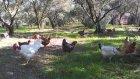 Köy Tavukları