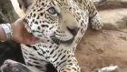 Köpeği Yalayan Jaguar