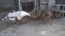 Sevimli Kazlar Ve Yavruları