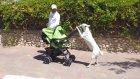 Pusetle Bebek Gezdiren Köpek