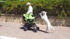 Bebek Arabasıyla Bebek Gezdiren Köpek