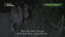 National Geographic Wild The Lion Army Hd