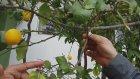 Limon Ağacı, Aydın Işıklı İbrahim Şimşek , Limon Gübresi, Limon ağacı Çiçeklerini döküyor