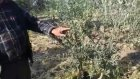 Zeytin Kurumasına Çözüm Rekor Gelişim Kullanan Üretici Mehmet Derya Saruhanli Halitpasa Kasabası