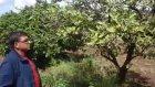 Kuruyan Mandalina Ağacı - Dikili