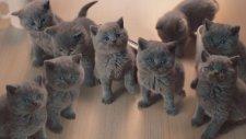 Tatlı Bisküviye Ekşi Analoji: Kedi