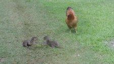Su Samuru Yavrularının Tavukla Oyunu