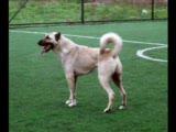 anadolu türk çoban köpekleri