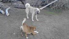 Kangal Vs Mastiff