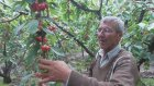 Kiraz Bahçesi  Rekor Gelişim Bağyurdu Mustafa Peksay