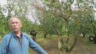 Kiraz Ağacı Bakımı  - İzmir Kemalpaşa Ören  Limoncuk - Necdet Öztabak