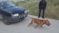 Boştaki Arabayı Çeken Pitbull Köpeği