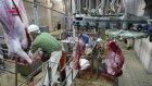 Cemsan Kelle Ciğer Konveyörü (slaughterhouse Systems - Mezbahane Sistemleri)