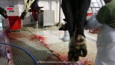 CEMSAN Sığır Kan Boşaltma Bölümü (Slaughterhouse Systems - Mezbahane Sistemleri)
