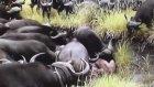Bufalolar Aslanı Öldürüyor