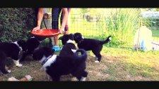 Border Collie - Küçük Canavarlar