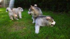 Sibirya Kurdu- Küçük Canavarlar
